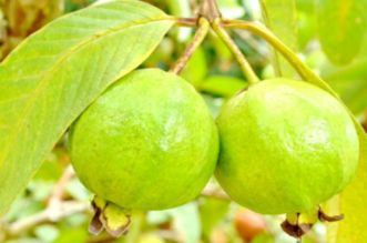 15 Health Benefits Of Guava Leaves That You Shouldn't Miss