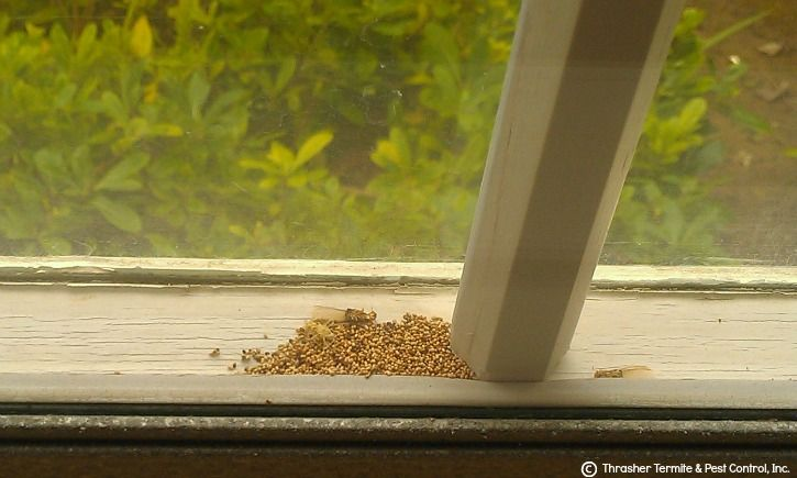Termite Pellets in Double-paned Window Photo by Thrasher Termite & Pest Control