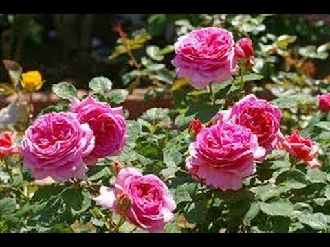 Some Useful Tips For Growing Roses From Seeds