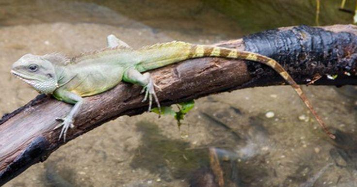 """Por qué los reptiles son ectotérmicos. La palabra ectotermia se utiliza para describir a un animal que es """"de sangre fría"""". Estos animales son incapaces de controlar directamente y regular su temperatura corporal. En su lugar, deben confiar en su entorno para calentar o enfriar su cuerpo. Los reptiles han evolucionado para ser ectotérmicos."""