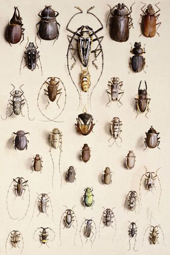 Coleoptera Beetle Illustration by Marian Ellis Rowan