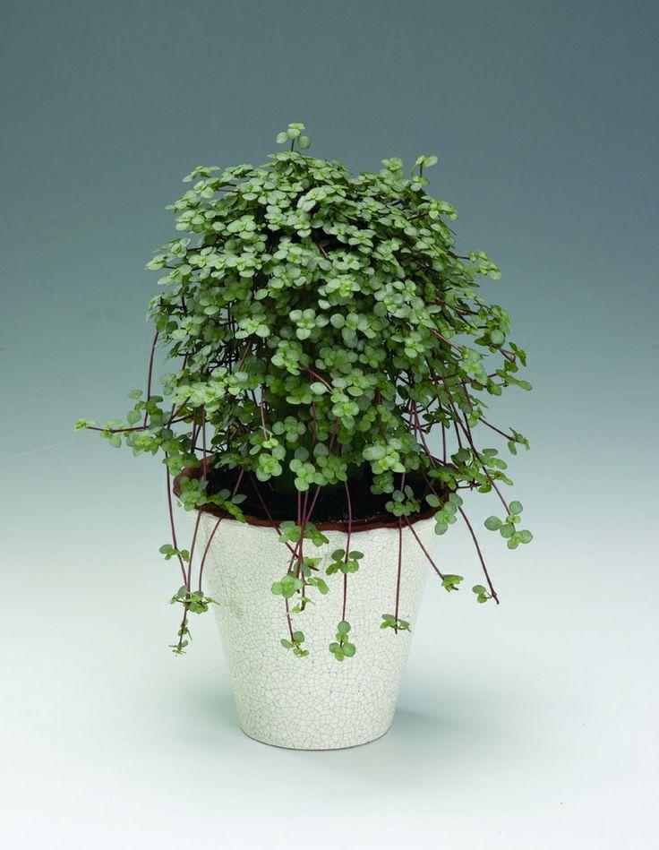 Pilea libanensis syn pilea glauca grey artillery plant for Plante pilea