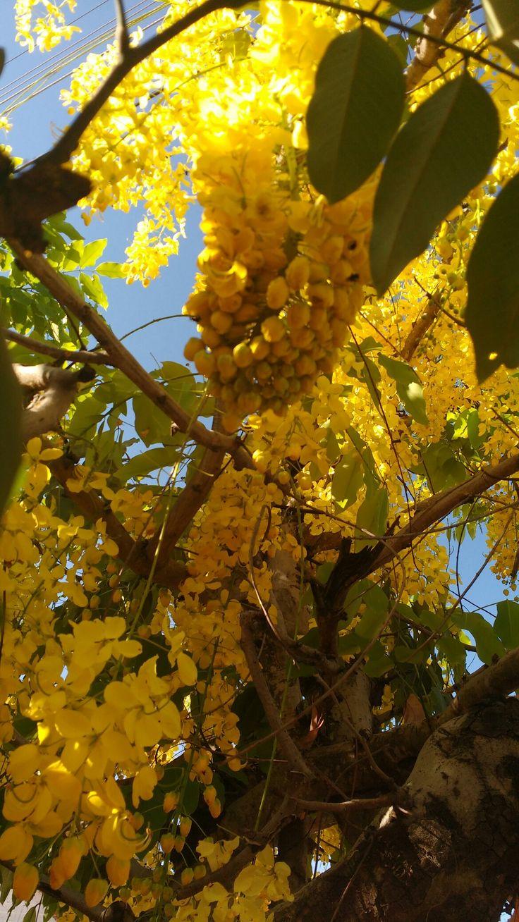 Originária da Ásia, a acácia-amarela, ou cássia-imperial, tem sementes tão perfumadas quanto suas flores. De setembro a fevereiro, seus galhos se enchem de cachos amarelos, o que lhe rendeu outro nome popular ainda mais impactante, chuva-de-ouro. #AcaciaFarnesiana #Nature #Natureza #Flower #Flor #Perfume #Yellow #Amarelo #GoldRain #SunnyDay #Teresina #Piauí #Nordeste #Northeast #Brasil