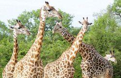 TWA-0053765 © WestPix Southern common giraffe. Mosi-oa-Tunya National Park, near…