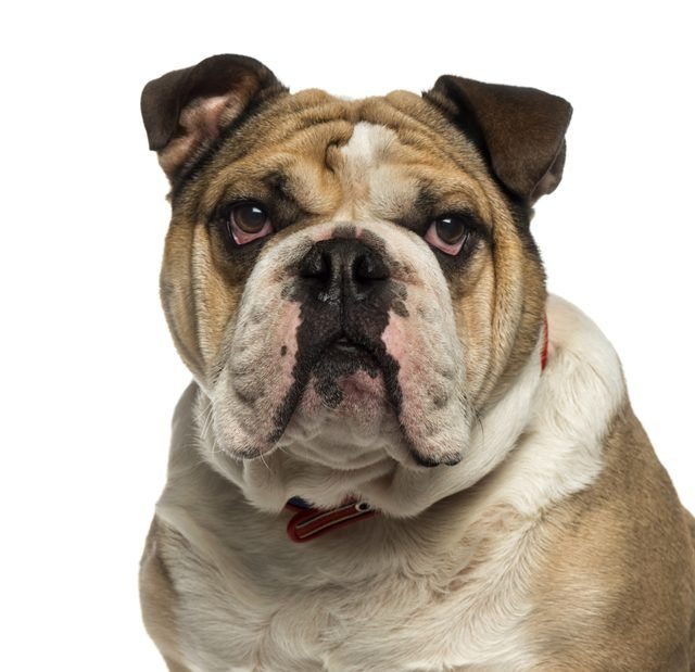 How To Clean Your English Bulldog S Face Wrinkles Bulldog