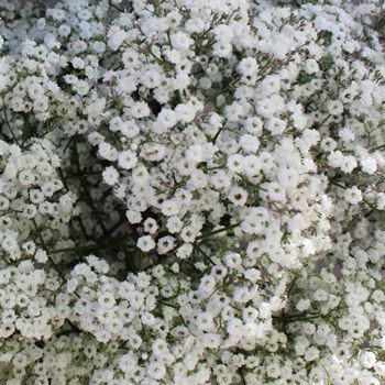 Million Star Bulk Baby's Breath Flower is a fresh white flower that is one of the most classic and popular flowers on the market. Named because each stem has a spray of small, textured flowers that give it the appearance of a million stars. Only in this case, they'll light up your bouquet instead...