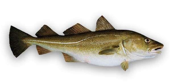 El bacalao skrei es un pez migratorio que realiza un gran y duro viaje en las frías aguas del Norte de Europa, desde Barents en Noruega hacia las islas Lofoten #HattvikaLodge