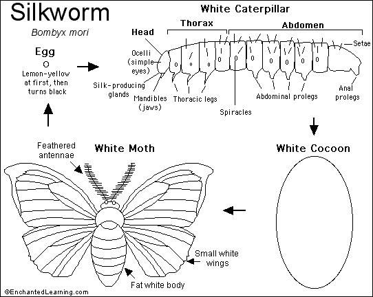 silkworms free electronic coloring activity on enchanted learning