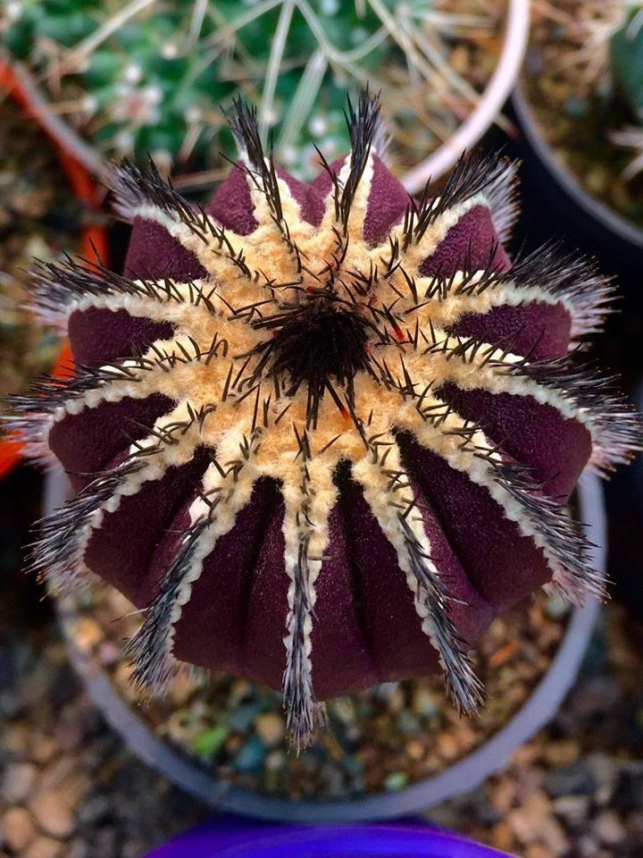 Uebelmannia pectinifera - had one of these but it was stolen.