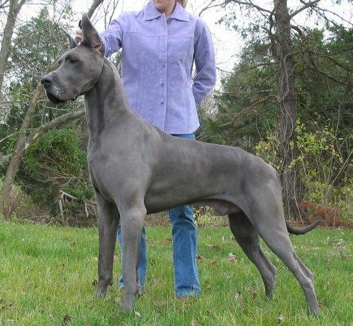 Blue Great Dane!
