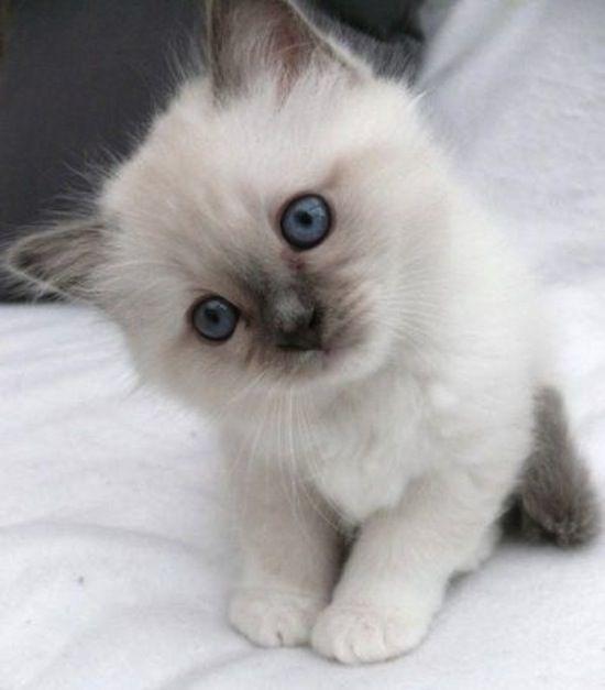 cute fluffy siamese kittens - photo #14