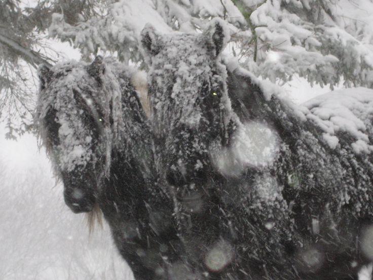 To heste næsten dækket af sne på Vengdalen