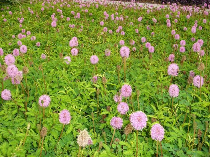 """Sunshine Mimosa (Mimosa strigillosa)dense green blanket of tiny fern-like leaves that shrink instantly from touch...giving it the common name of """"Sensitive Plant."""" This is one of the fastest low growing groundcovers to fill in a bare spot in a hurry."""