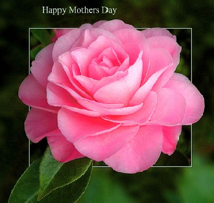 Day Flower Rose Pink Mothers Happy Wallpaper Apple