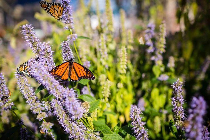 Danaus plexippus to wędrowny motyl, nazywany również danaidem wędrownym, monarchem lub monarchą :) piękny! :) #monarch #monarchbutterfly #butterfly #butterflygarden #butterfliesofinstagram #butterflyphotography  #fallbutterfly #migration #butterflybush  #purpleflowers #insectogram #insectofinstagram #insectofinstagram #insectphotography #flowers #flowerstagram #flowerphotography
