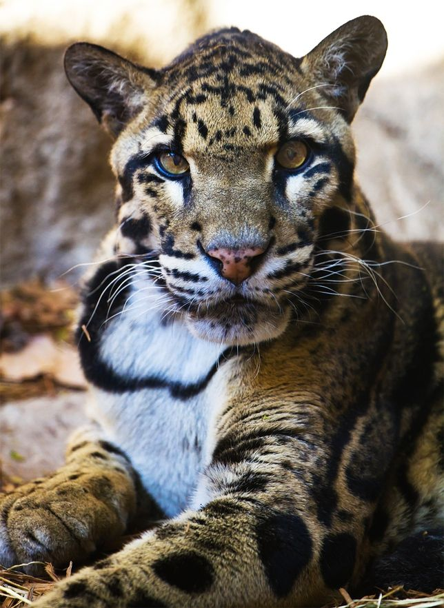 Up Close: The Amazingly Beautiful Clouded Leopard ...