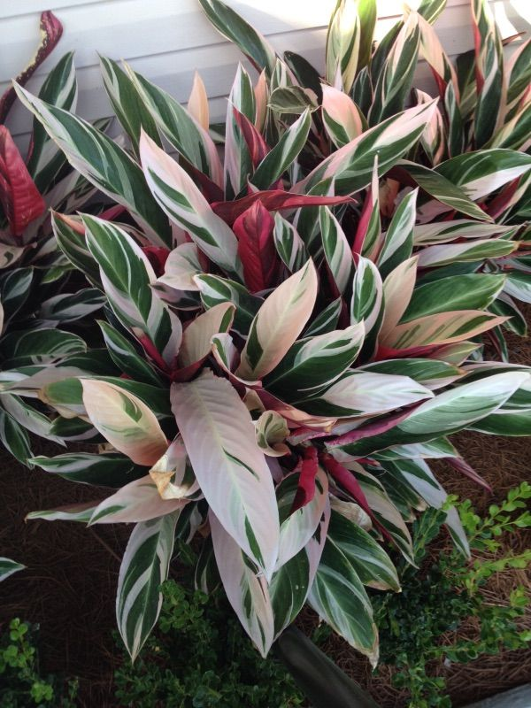 Tricolor Ginger Stromanthe Sanguinea With Its Distinctive Colorful Foliage The Multihued Tricolor Ginger Plant Doesn T Ne Plants Ginger Plant Shade Plants