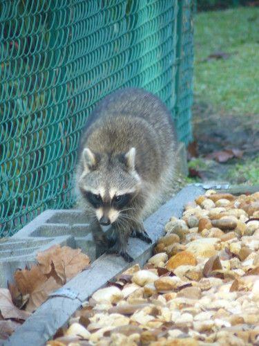 visite d'un raton laveur dans le jardin de notre location http://tricotdamandine.over-blog.com/tag/voyage%20en%20floride%20-%202012/2