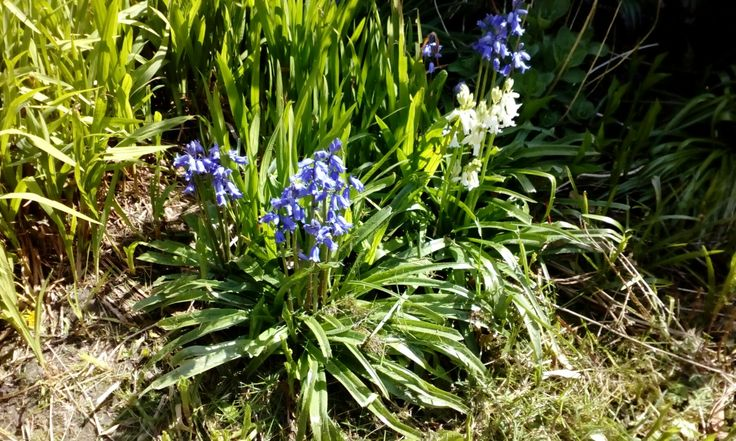 Bluebells or wild hyacinth?