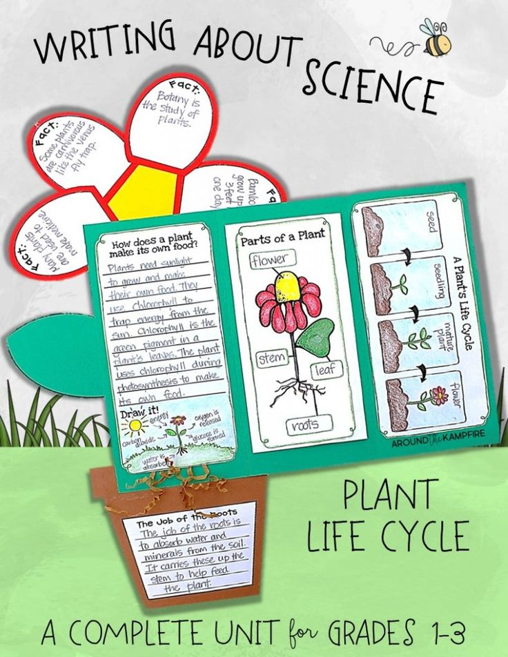 Plant life cycle activities-A complete science unit with hands-on mini lessons, learning labs, anchor charts for photosynthesis and parts of a plant, and a focus on writing about science with this culminating foldable flower lapbook. Students write to define, label, and explain about the life cycle of plants. The flower booklet makes a wonderful display that kids and parent love! for 1st, 2nd, and 3rd grade.