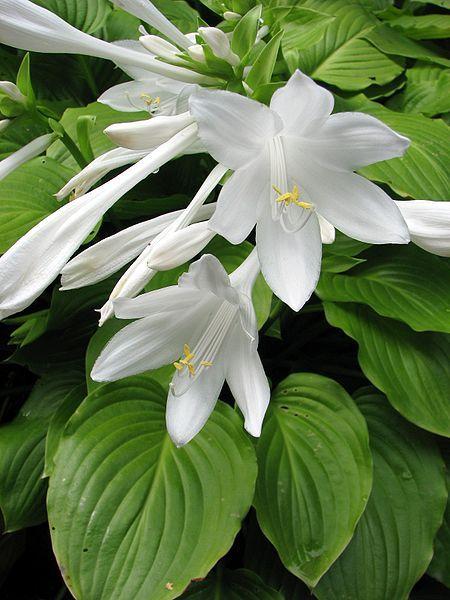 Hosta lessons with Tony Avent of Plant Delights Nursery (photo by Nova, from Wikimedia Commons) | awaytogarden.com