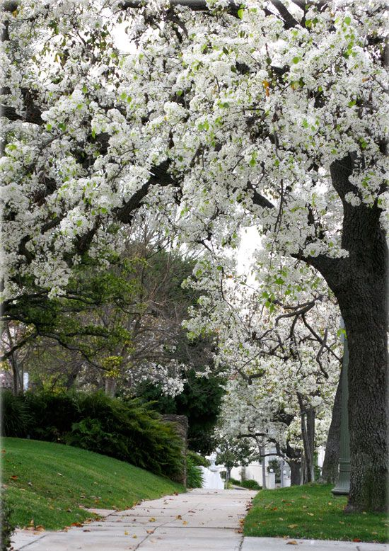 Evergreen Pear Tree