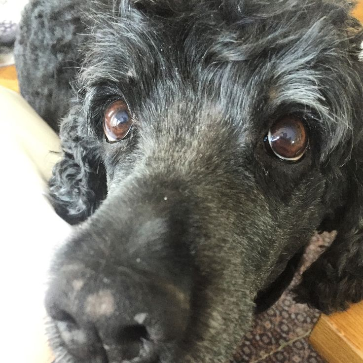 Carla 11 år ❤️❤️  Race Portugisisk vandhund.