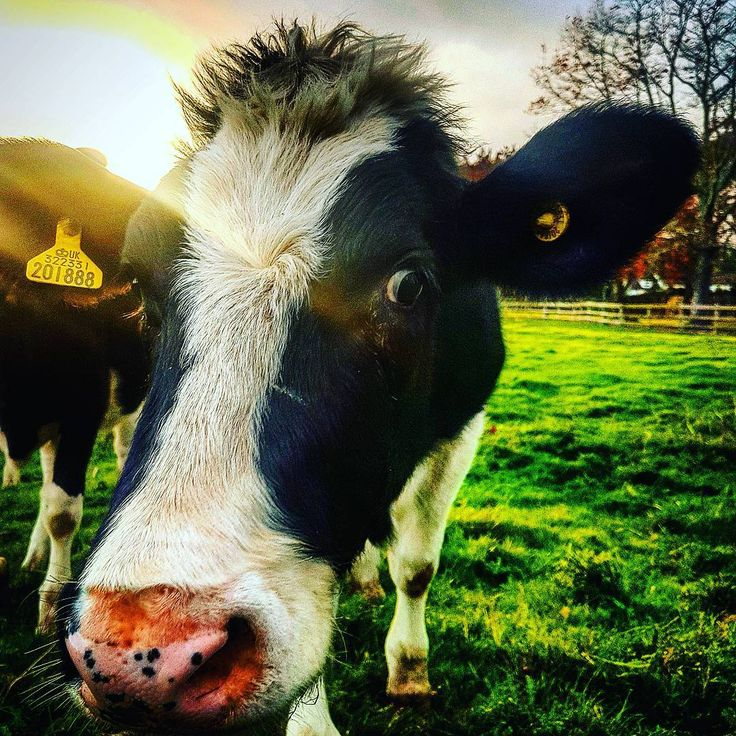 Cow face. #cows #cowsofinstagram #cattle #farmlife #animals #pets #Somerset #bristol #university #students #veterinary #vetlife #veterinarian #vetschool #selfie #closeup #friends #countryside #outdoors #thatface #Sunshine #countrylife #equine #instagood #instadaily #picoftheday #beautiful #work #life #happy #closeup