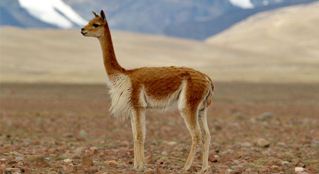 The vicuña (Vicugna vicugna) or vicugna is one of 2 wild South American camelids which reside in the high towering areas of the Andes, the various other being the guanaco. It is a loved one of the llama, and also is currently believed to be the wild forefather of domesticated alpacas, which are raised for their coats. Vicuñas generate small amounts of incredibly great wool, which is very pricey because the animal can just be shorn every three years, as well as needs to be captured from the…