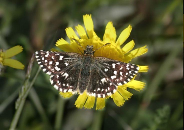 Hesperiidae, aardbeivlinder. Pyrgus malvae