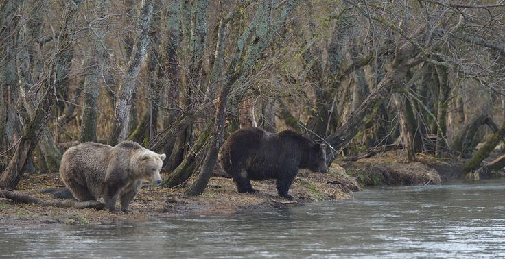 Среди медведиц тоже встречаются натуральные блондинки
