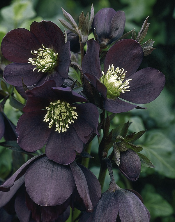 HELLEBORE QUEEN OF NIGHT