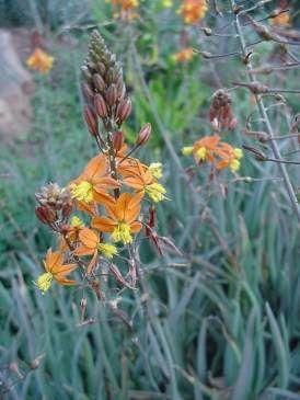 Bulbine frutescens. Photo: G Nichols