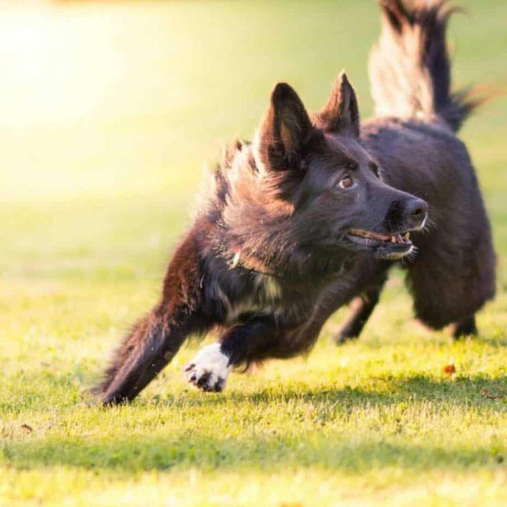 63 short hair german shepherd border collie mix in 2020