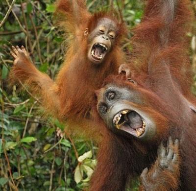 Fieggentrio: Een dag niet gelachen, is een dag niet geleefd.  I really need to laugh every day!  orang utan