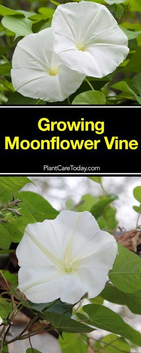 The moonflower vine, Ipomoea Alba one of the easy care climbing vines resembles the Morning Glory. Moonflower plant with a delicious elegant fragrance.