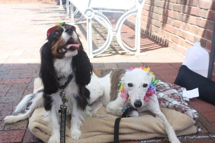 Quinn and Stewart #AnimalHospital #Veterinarian #Pets #KAH #FrederickMaryland #KingsbrookAnimalHospital #Vet #CommunityEvents #FrederickPride #CavlierKingCharlesSpaniel #Whippet