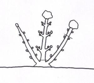 Potatura ortensie. I rami diritti senza ramificazioni laterali e senza fiori secchi sono i più giovani, quelli prodotti l'anno prima e porteranno un grosso fiore in punta. Vanno lasciati intatti.  I rami senza ramificazioni ma col fiore secco in cima hanno due anni e vanno accorciati di circa un terzo. Produrranno fiori sulle ramificazioni laterali. I rami con ramificazioni e fiori secchi.sono i più vecchi e vanno eliminati.