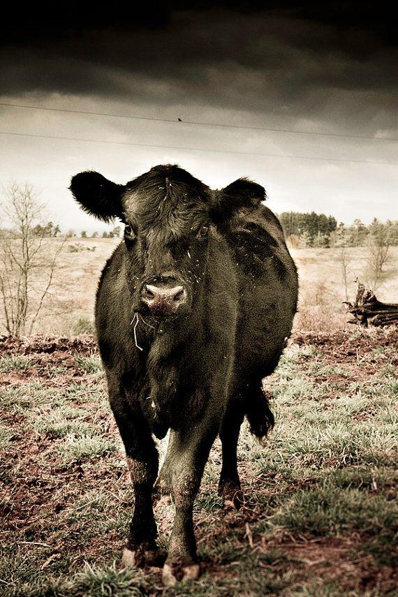 Black COW Wall Art FARM ANIMAL Photography of Black by GrayArtus.com
