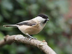 Willow tit. It is a widespread and common resident breeder throughout temperate and subarctic Europe and northern Asia. It is more of a conifer specialist than the closely related marsh tit, which explains it breeding much further north. It is resident, and most birds do not migrate.
