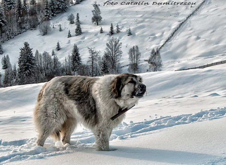 The Mountain Guardian! :) He is a Bucovinean Shepperd, one of the toughest breeds of shepperd dogs. They are known to fight bears and wolves ro protect their flock. © Catalin Dumitrescu