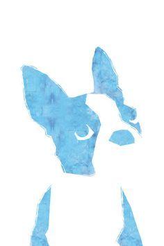Baby blue Boston Terrier Puppy