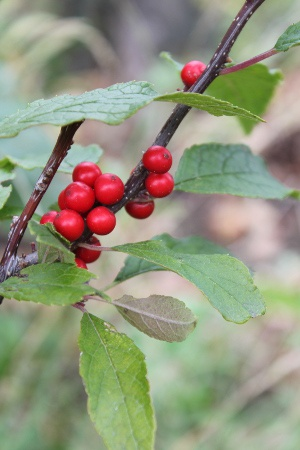 winterberries - they stay red and plump for much of the winter...nice for our eyes and good for birds' bellies.