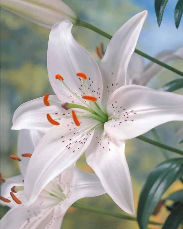 Jardin (Lis asiatique 'Mont Blanc').