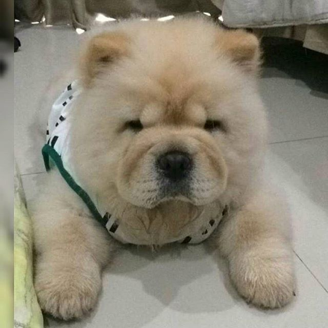 @HaCHiGoRi   #animals #animal #pets #pet #dogsofinstagram #dog #puppy #puppylove #instapuppy #puppies #woof #fluffy #paws #cachorro #perro #собака #cachorrinho #babyanimals #chowchow #anjing  #chowchowpuppy #강아지 #ペット #犬 #개 #わんこ #犬バカ部  #توله #هاپو #چاوچاو  MY SPESIAL CHOW FRIENDS :  @SDSTaSiuK @DIGSBY_N_CiNDeReLLa_THe_CHoWS  @KHePeLKHaN.CHoWCHoW  TaG YouR FRieNDs :