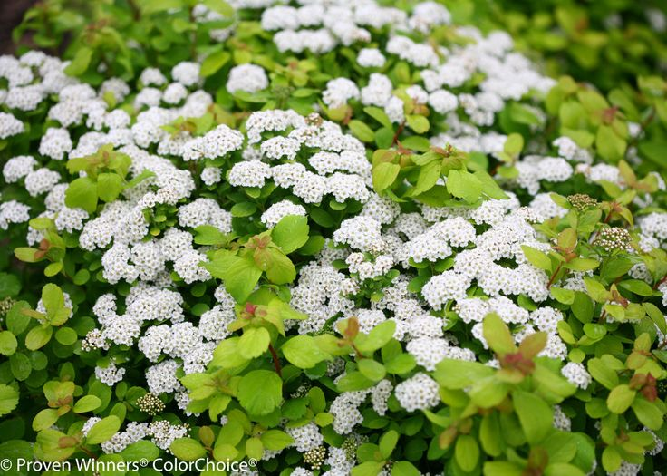 1000 images about Easy Garden Plants on Pinterest White flowers
