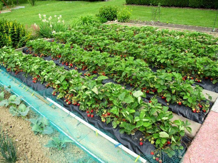 Épinglé sur Planter des fraisiers sans entretien sur bache