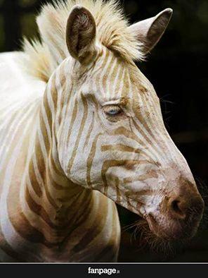 """Zoe, l'unica """"zebra bianca"""" rimasta sulla terra.  Occhi azzurri a strisce bianche e dorate. Un animale davvero spettacolare!"""
