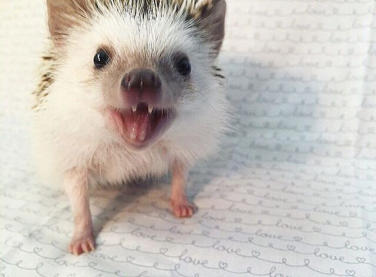 Best Pretty Damn Cute Images On Pinterest Candy My Love - This instagram account will satisfy your addiction for adorable hedgehogs