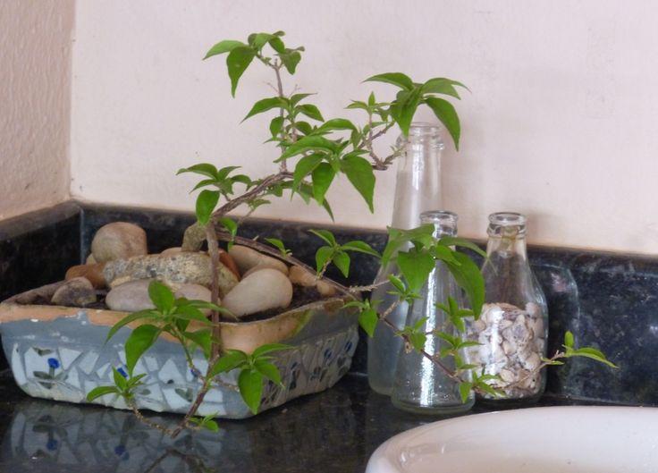 "Homemade mosaic pot with bouganvile ""bonsai"" - Bonsai de primavera"